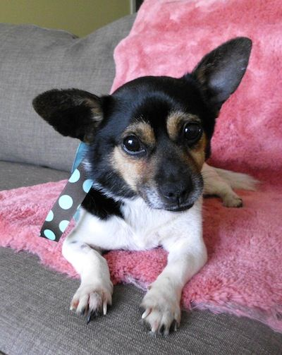 Adopt Patch on Jack russell terrier, Terrier mix dogs
