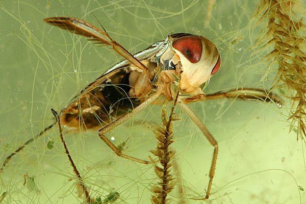 Arthropoda, Hexapoda, Ectognatha/Insecta, Heteroptera (duikerswants)