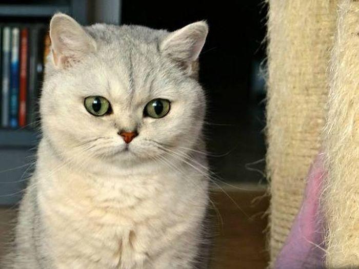 Cat - British shorthair - Lady Flora on www.yummypets.com