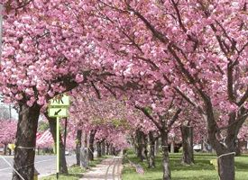It's pretty isn't it but murder on my allergies!!  Cherry Hill always has a high pollen count.