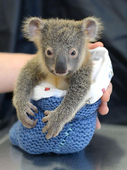 Baby Koala Won't Leave Mom's Side During Surgery – & It Will Give You the Feels | People