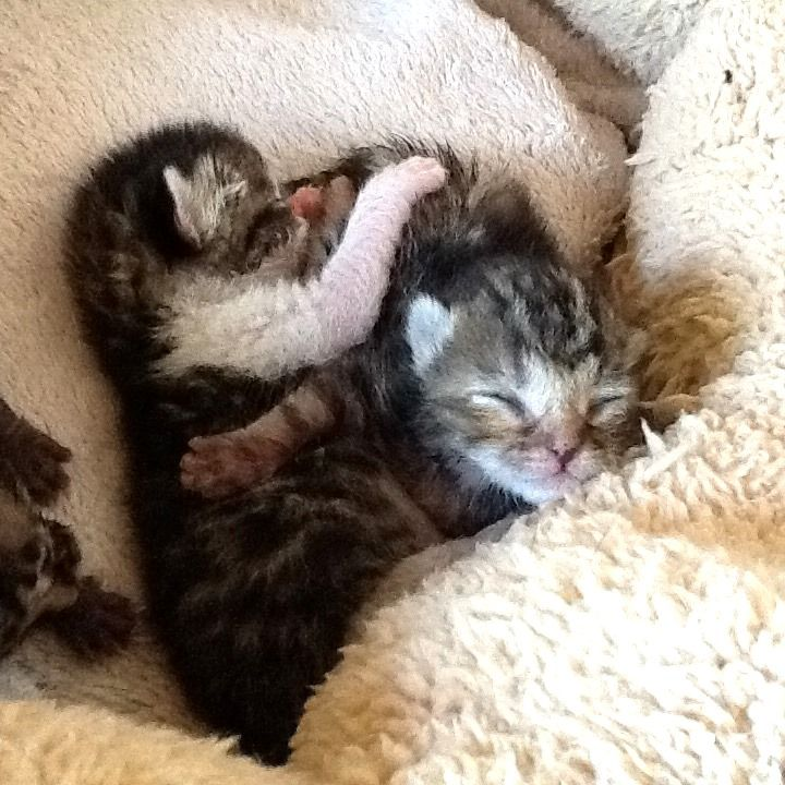 New-born orphaned kittens need special care   67