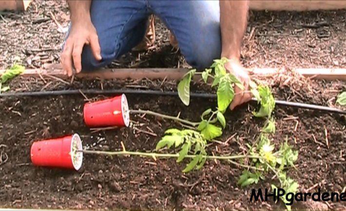 Chceli by ste tie najlepšie a najkrajšie paradajky? Stačí urobiť tieto 4 veci a vaša úroda bude bohatá ako nikdy predtým | Báječné Ženy