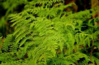 lush woodland fern