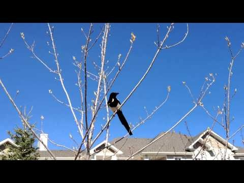 A long time Calgary resident: The Magpie.