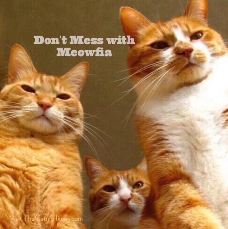 Don T Mess With The Meowfia Cats With Captions