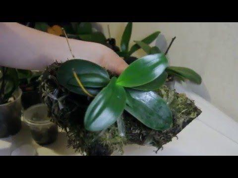(отъезд на 3 недели осмотр)Цветонос из точки роста. Миниатюрная орхидея на блоке - YouTube