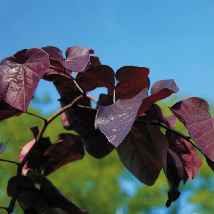 10 Best Cultivar Choices Redbud Images On Pinterest