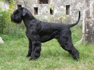 Giant Schnauzer. All natural (undocked tail and uncropped ears) Love it ~!~