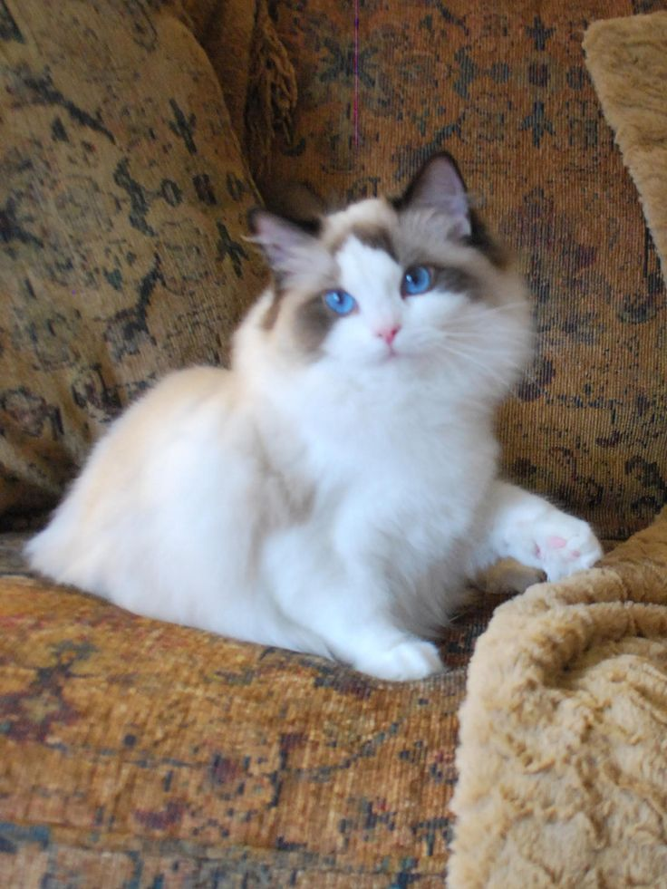 Maine Coon Cat Cafe Canada