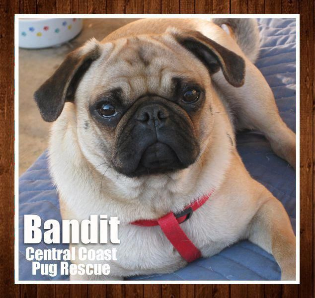 Here S Bandit He Is An Adorable 1 Year Old Pug Boy Looking For