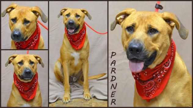 Pardner  Dog • Hound & Labrador Retriever • Adult • Male • Large  Community Animal Rescue & Adoption, Inc. (CARA) Jackson, MS