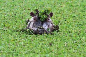 039-Flusspferd - hippopotamus - Hippopotamus amphibius, Masai Mara, August 2012