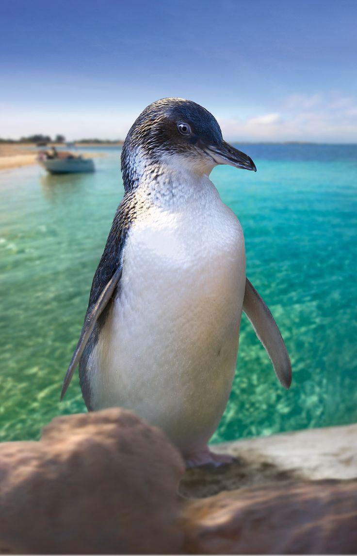 Penguin Island, Shoalwater Islands Marine Park, Perth Western Australia