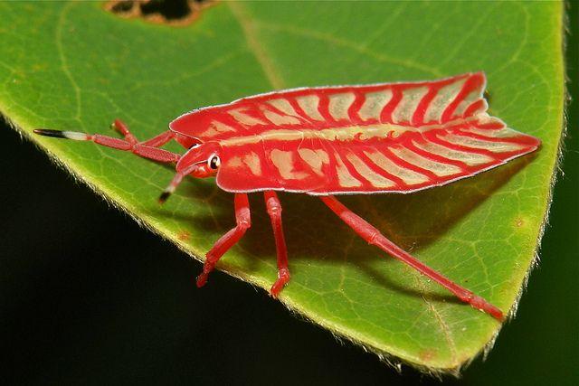 Tessaratomid Stink Bug Nymph (Tessaratomidae) by John Hortsman