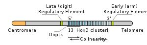Hox genes (from an abbreviation of homeobox) are a group of related genes that control the body plan of the embryo along the anterior-poster...