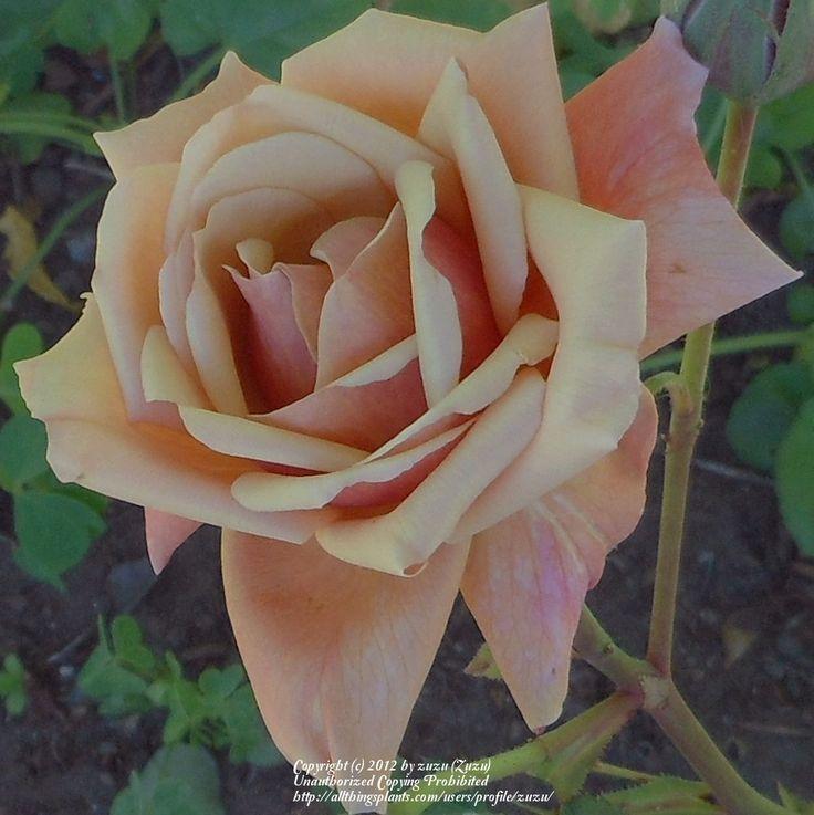 Photo of Rose (Rosa 'Tom Brown') uploaded by zuzu