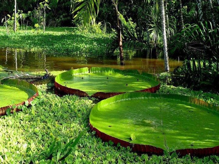 https://s-media-cache-ak0.pinimg.com/736x/70/0b/12/700b12fecd65a04a7ff900e9fcf738c2.jpg Giant Amazon Water Lily