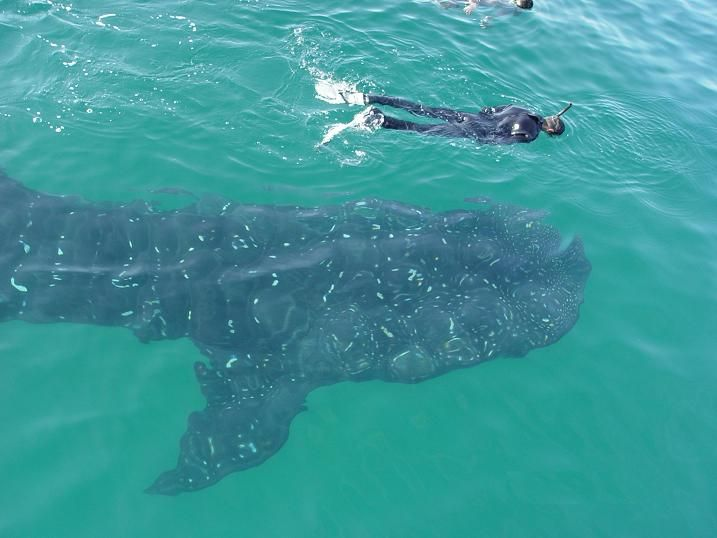 snorkeling with whale sharks near Isla Holbox. Oh my gosh this would be so much fun!!!