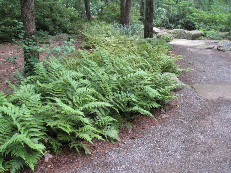 Autumn ferns are my favorite: tall, lush and don't mind either drought or cold...
