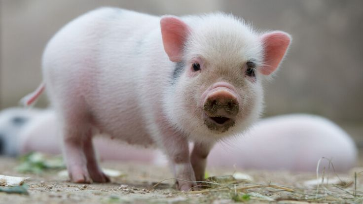 May I keep a mini-pig in the apartment?