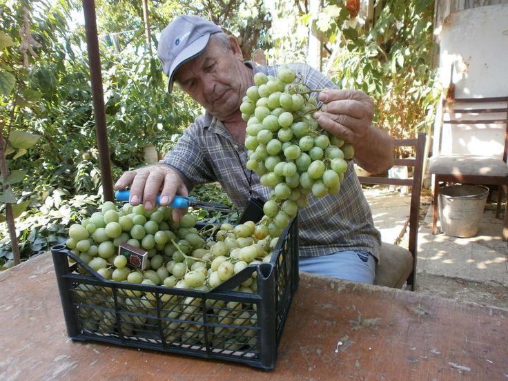 Ликбез для начинающих виноградарей. Почки винограда нельзя рассматривать просто как точки роста. В них идет закладка соцветий, причем урожай будущего года во многом зависит от условий формирования почек. Так, самая оптимальная температура формирования почек обычно совпадает с созреванием средней части побега