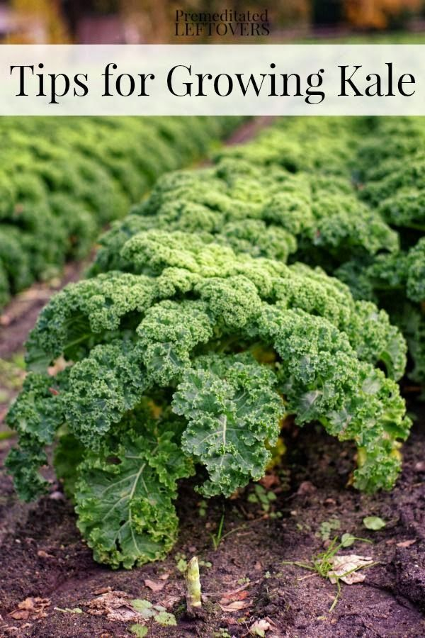 Tips for Growing Kale in Your Garden including how to grow kale from seed, when to plant kale, how to transplant kale, & when and how to harvest kale plants..