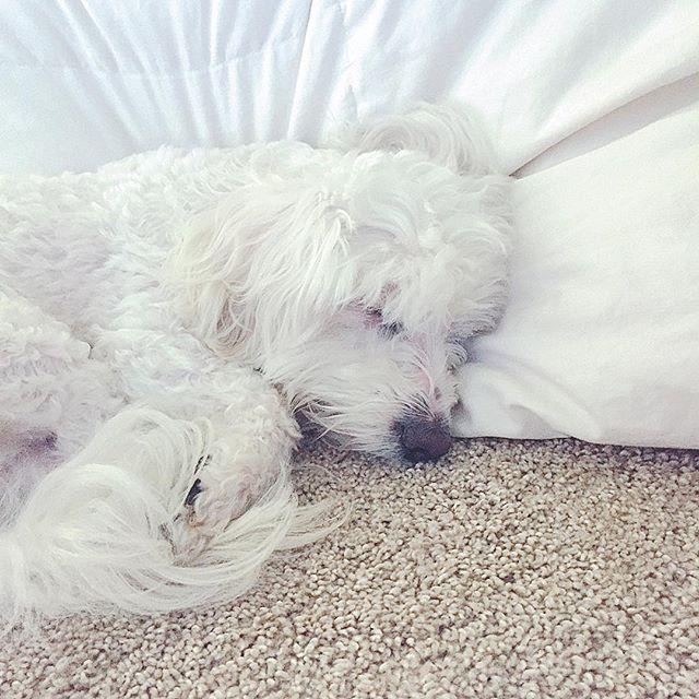 Monday vibes.😴 - #instadog #dogs #doglovers #hybrid #poochon #bichon #poodle #rescue #lazyday #dogsofinstaworld #dogsofinstagram #furryhouseguest #simplelife #dogslife #sleepy #thatface #愛犬 #rufflife #monday #snooze