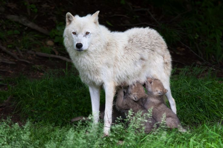 1X - Remus and Romulus - Arctic Wolf by Jim Cumming