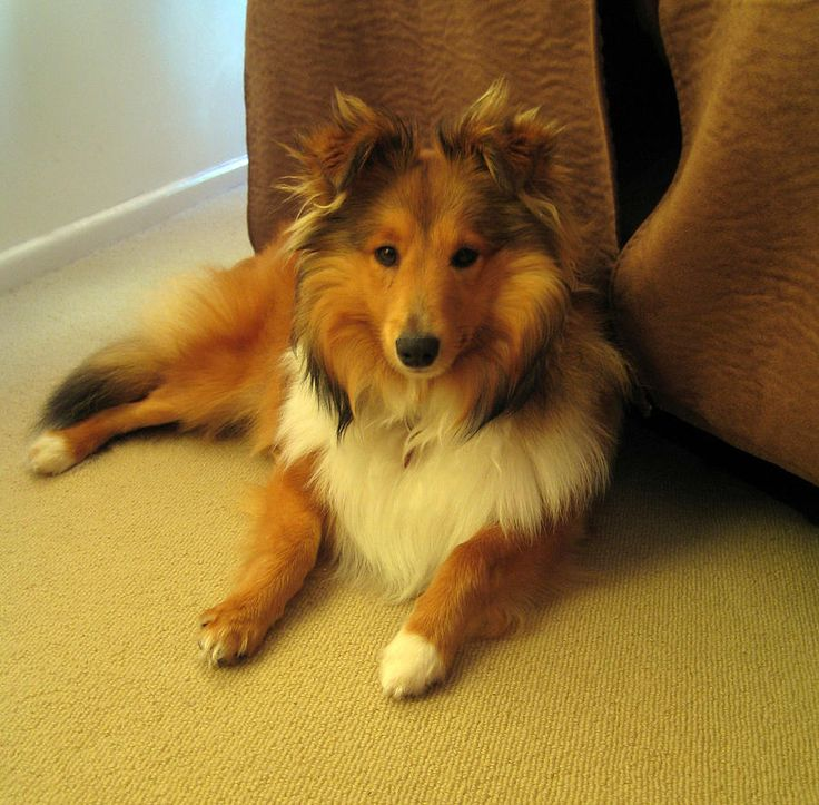 fluffy sheltie by ragzx0fxlace - photo #13