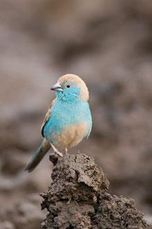 Blue Waxbill, spotted at Bonamanzi Game Reserve