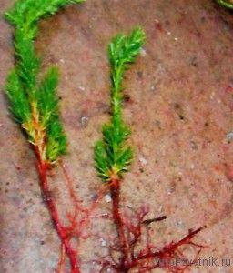 У сортов с колонновидной и узкопирамидальной кроной берут только прямые, стремящиеся вверх, но отнюдь не самые мощные побеги. У стелющихся сортов срезают на черенки любые, только не вертикальные, побеги. Для растений с раскидистой, овальной или шаровидной кроной выбор черенка несуществен.