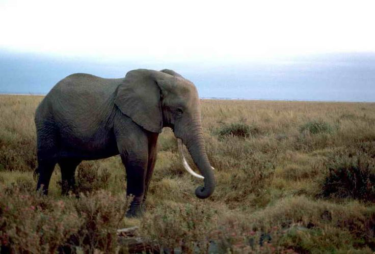 Free Pictures - download good quality images of Elephant