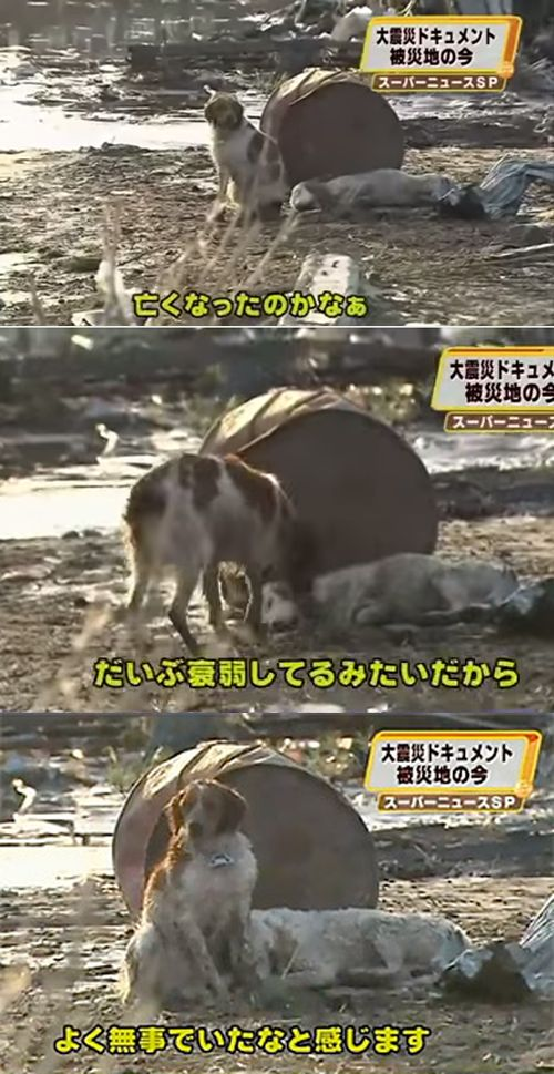 The Japanese dog who refused to leave his wounded companion's side after the tsunami: | 14 Pictures That Prove Animals Are Better Than People