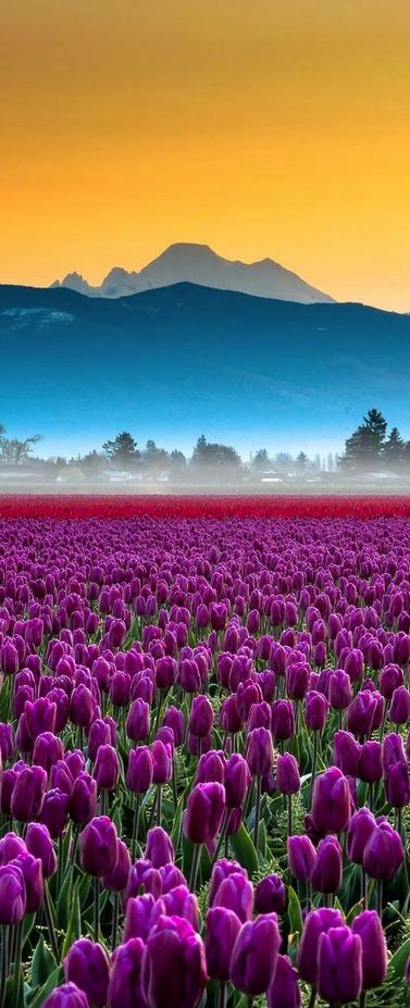 Skagit Valley tulips and Mount Baker, Washington, USA