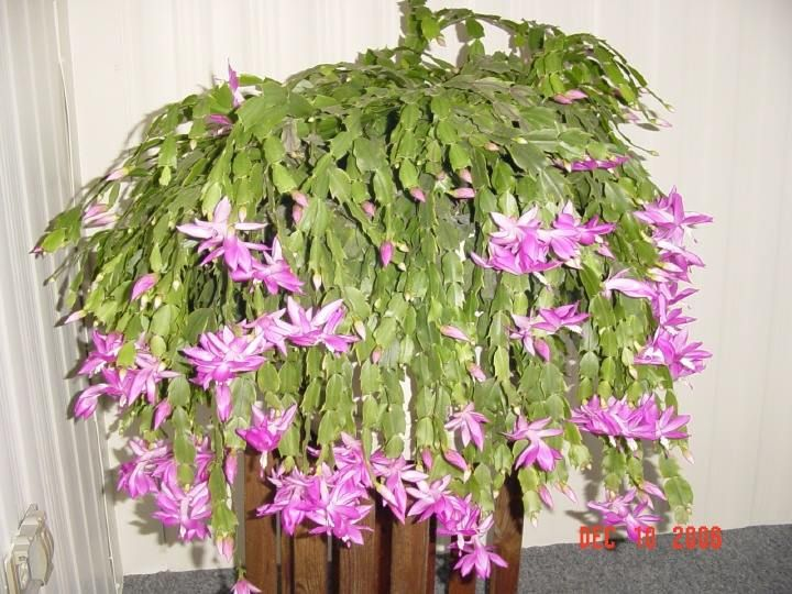 nobby design flowering succulent house plant identification. Christmas Cactus Schlumbergera trunctata CactusCactiExotic PlantsIndoor  PlantsSucculentsInside 41 best Cacti Succulents worldwide images on Pinterest The Best 100 Fetching Images Of Succulent House Plants Image