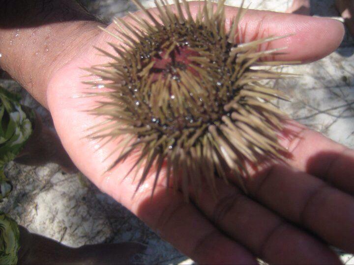 Urchin, Mauritius