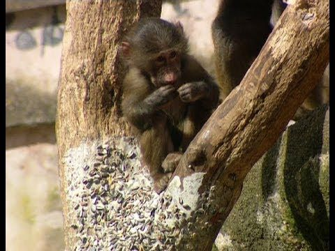 Keeping the baboons on their toes - The Zoo Keepers - BBC