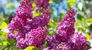 Le lilas des Indes est un formidable arbuste à floraison estivale et à feuillage caduc. L'entretien, de la plantation à la taille sont autant de gestes qui participeront à la croissance et à la belle floraison de votre lilas des Indes au fil des saisons, qu'il soit en pot ou en terre au jardin