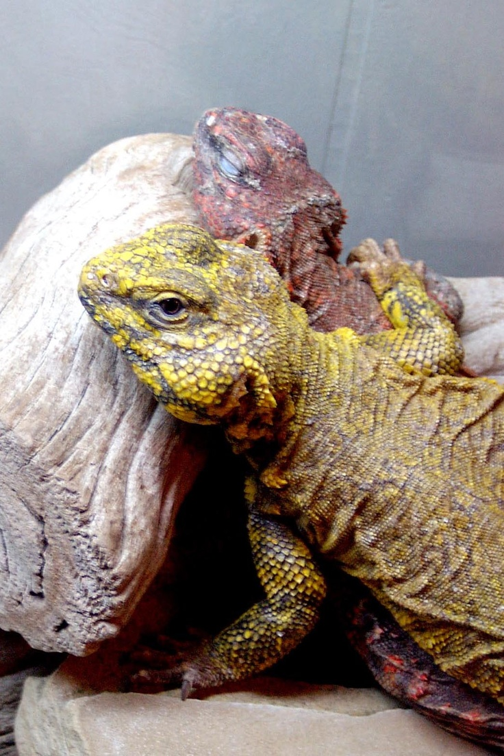 9 best Uromastyx images on Pinterest | Lizards, Uromastyx ...