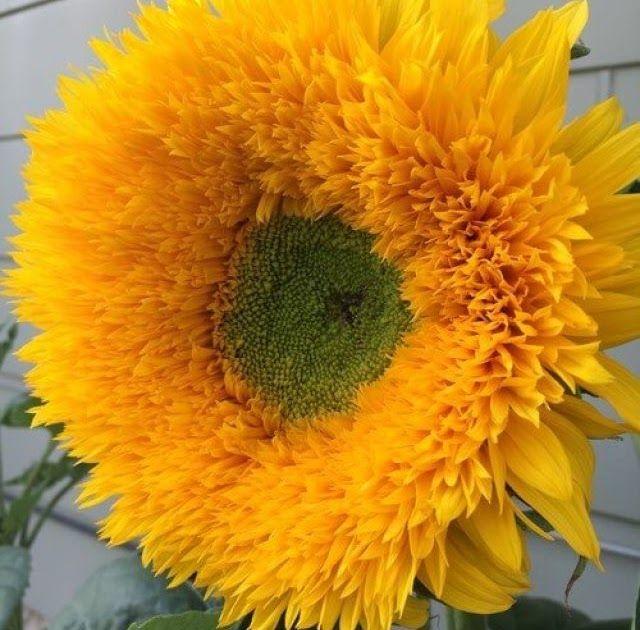 Fantastis 28 Gambar Bunga Matahari Untuk Diwarnai Download Gambar Mewarnai Bunga Kembang Sepatu Kamu Pun Bisa Me Gambar Bunga Menggambar Bunga Matahari Bunga