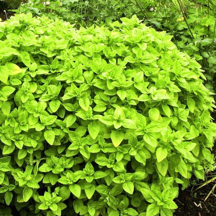 Hooks Green Herbs - Origanum vulgare 'Aureum' Oregano Golden Herb Plant (9cm), £3.00 (http://www.hooksgreenherbs.com/origanum-vulgare-aureum-oregano-golden-buy-herb-plant-online/)