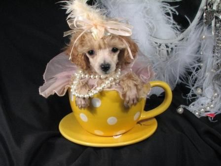 Very+Tiny+Teacup+Poodles | Teacup Poodle Puppies For Sale & Toy Poodle Puppy in Florida