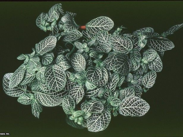Fittonia verschaffeltii var. argyroneura grows from 3 to 6 inches tall and features green and silver variegated leaves.