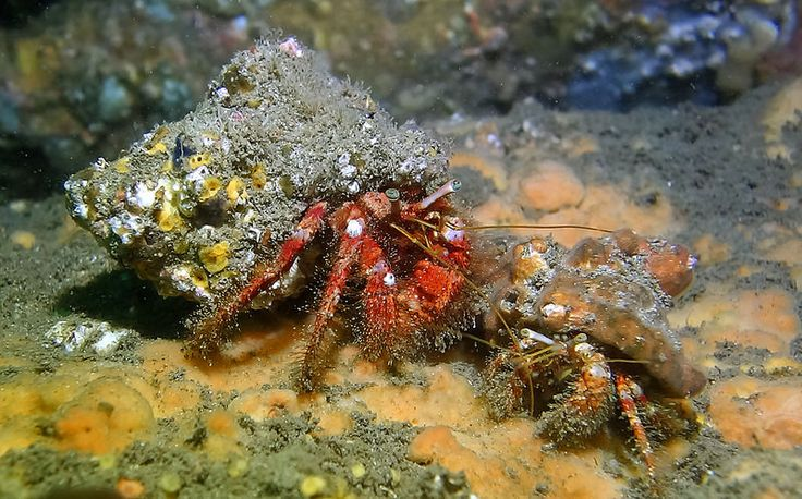 Hairy Pair; Red Hermit Crabs - Dardanus lagopodes #marineexplorer