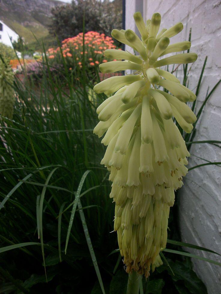 Flowering Fynbos bulbs set against wild iris and Leucospernum cordifolium. A contemporary Fynbos planting.