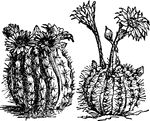 "The Cacti ClipArt gallery offers 64 illustrations of members of the Cactaceae family including: saguaro, paddle, prickly pear, echinocalus, starfish, giant, and barrel cacti.    <p>All illustrations in the <em>ClipArt ETC</em> collection are line drawings. If you are looking for <a href=""http://etc.usf.edu/clippix/pictures/cacti/"">color photographs of cacti</a>, please visit the <a href=""http://etc.usf.edu/clippix/""><em>ClipPix ETC</em></a> website."