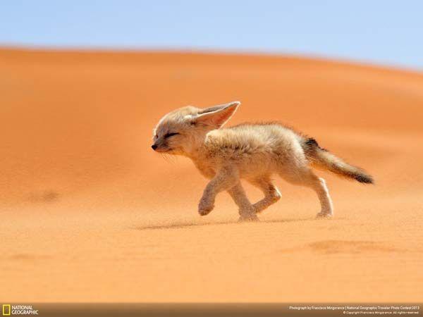 1.) A fennec fox struggling through the desert