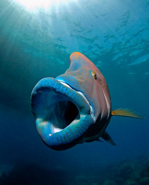 The humphead wrasse is the largest living member of the family Labridae, with males reaching 6 feet (2 m) in length, while females rarely exceed about 3 feet (1 m). It has thick, fleshy lips and a hump that forms on its head above the eyes, becoming more prominent as the fish ages. Males range from a bright electric blue to green, a purplish blue, or a relatively dull blue/green.