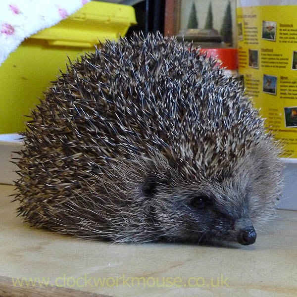 Meet Rudolph (he was rescued at Christmas ;) we collected him yesterday from the local hedgehog rescue centre and he now lives in our garden...